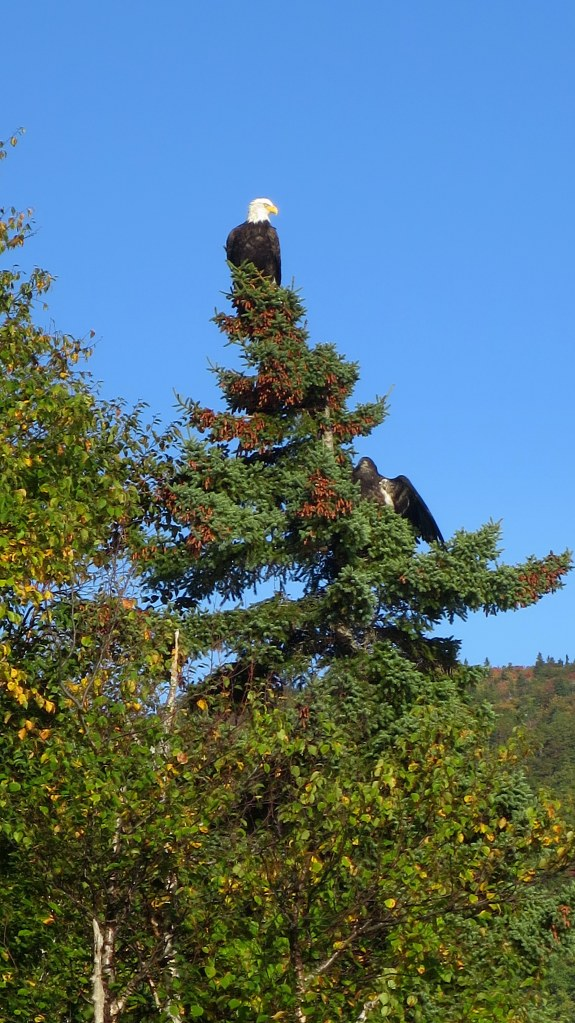 Closeup of bald eagle, Ingonish, Nova Scotia, Canada