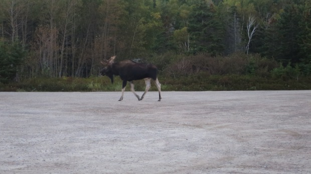 Moose! Ingonish Beach, Cape Breton Highlands National Park, Nova Scotia, Canada