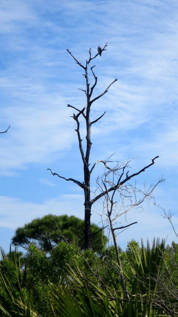 Osprey, Osprey Trail, Honeymoon Island State Park, Florida