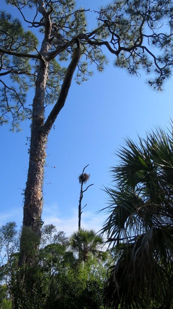 Eagle nest, Osprey Trail, Honeymoon Island State Park, Florida