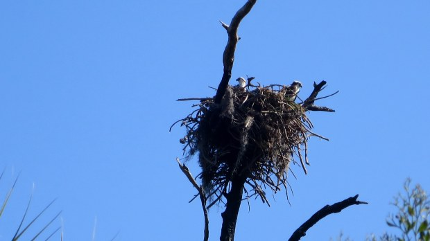 Closeup of eagle nest, Osprey Trail, Honeymoon Island State Park, Florida