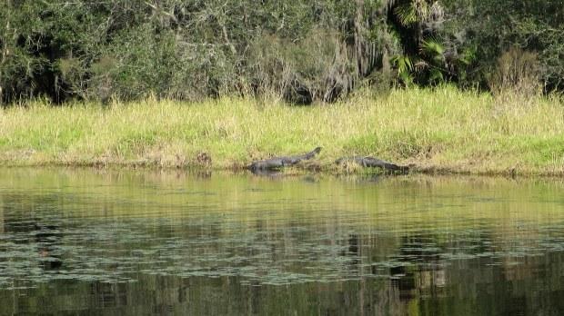 Gators, Myakka River, Myakka River State Park, Florida