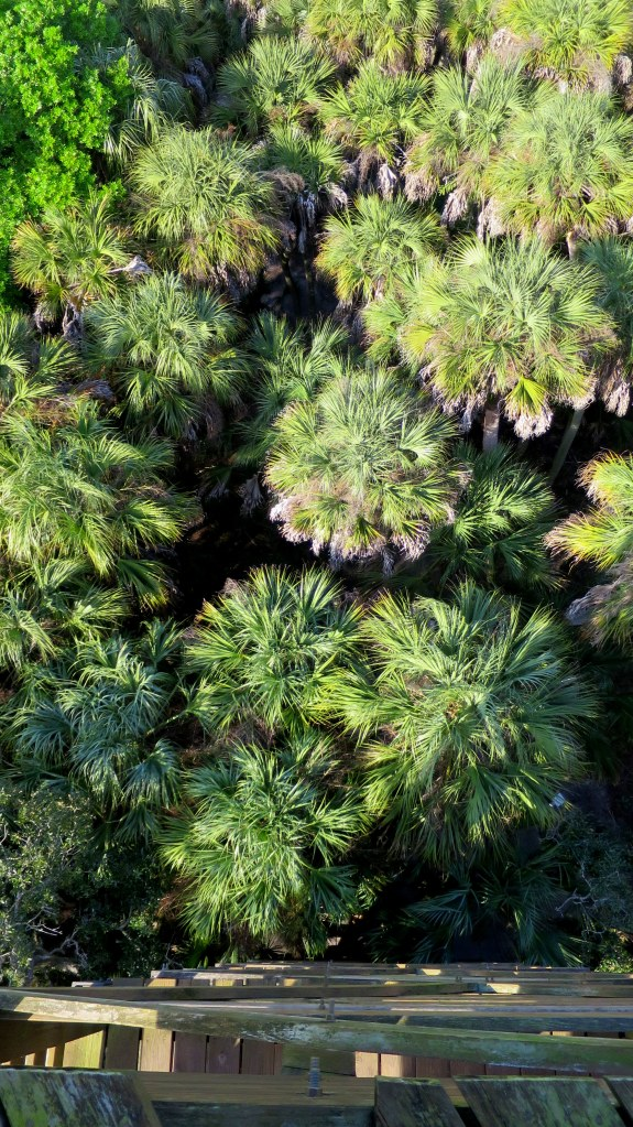 Looking down on palm trees from observation tower, Myakka River State Park, Florida
