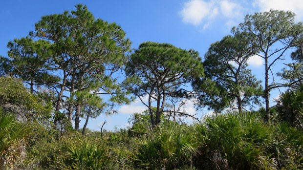 Scrub habitat, Venetian Waterway Park Trail, Shamrock Park, Florida