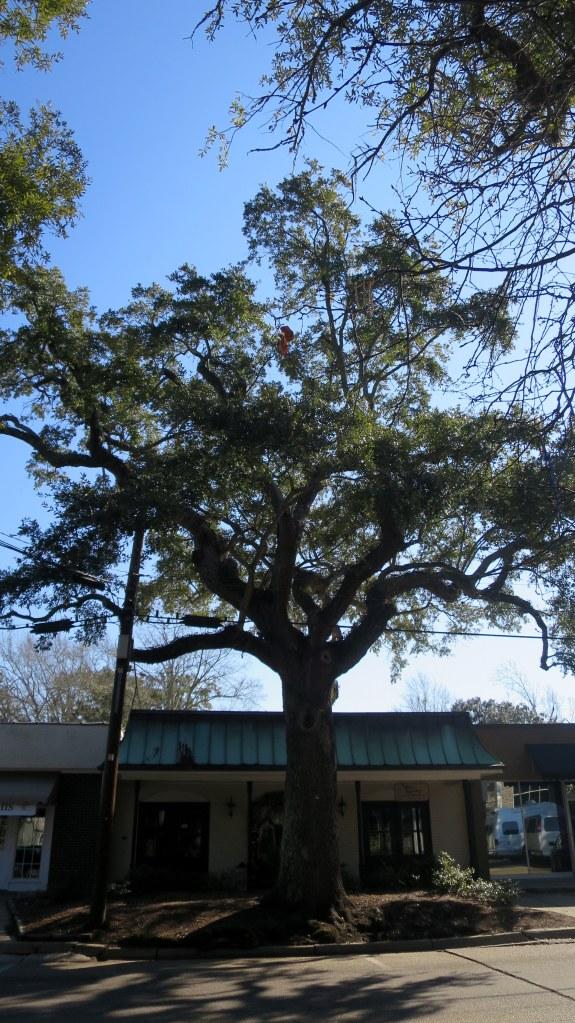 Live oak on Main Street, Ocean Springs, Mississippi