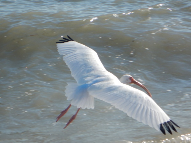 White ibis in flight, Siesta Key Beach, Florida