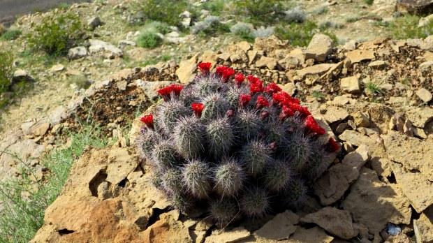 Blooming cactus, Virgin River Canyon Rim, Utah