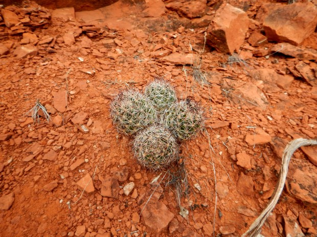 4-pack Pincushion Cactus, Bell Rock Pathway, Sedona, Arizona