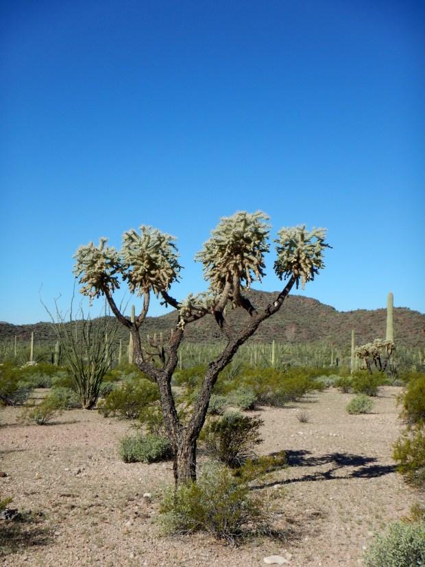 Jumping Fruit Cholla, Historic County Road Trail, Organ Pipe Cactus National Monument, Arizona