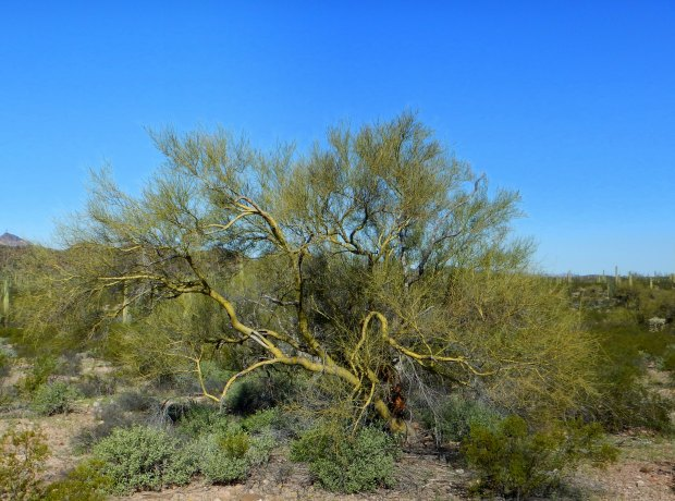 Green-barked tree (Palo Verde tree), Historic County Road Trail, Organ Pipe Cactus National Monument, Arizona