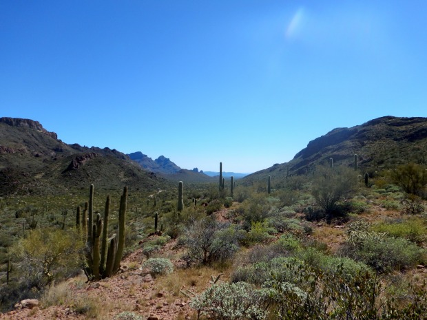 Organ Pipe Cactus in front of mountains, Ajo Mountain Drive, Organ Pipe Cactus National Monument, Arizona