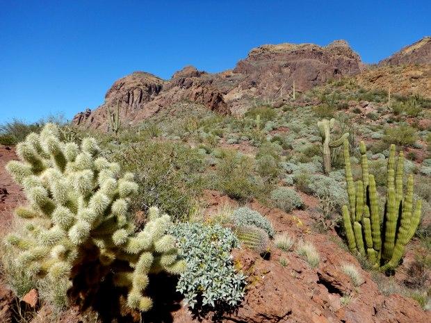 Teddy Bear Cholla and Organ Pipe Cactus, Bull Pasture Trail, Organ Pipe Cactus National Monument, Arizona