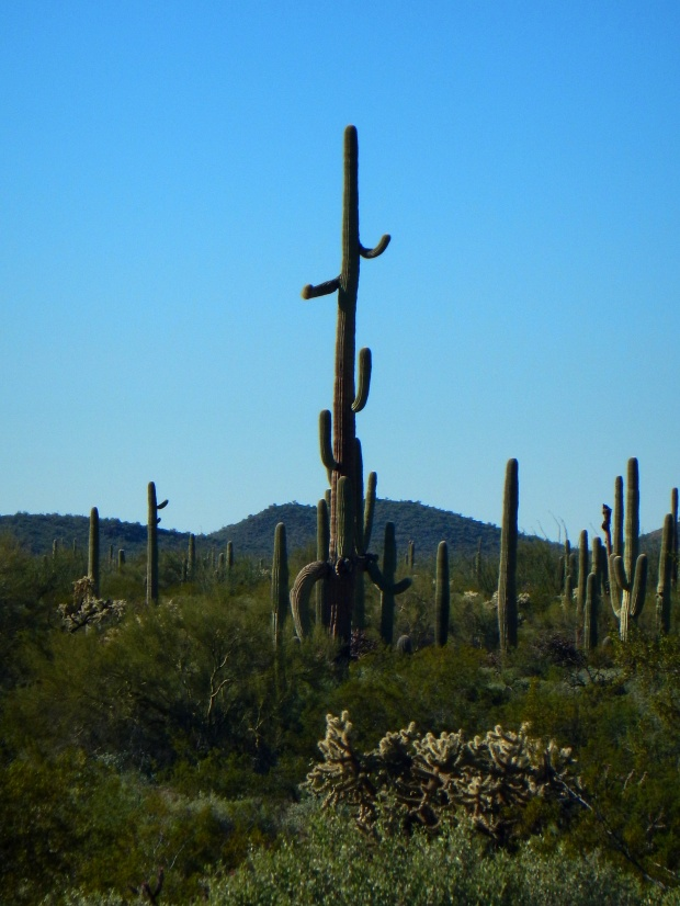 Saguaro, Ajo Mountain Drive, Organ Pipe Cactus National Monument, Arizona