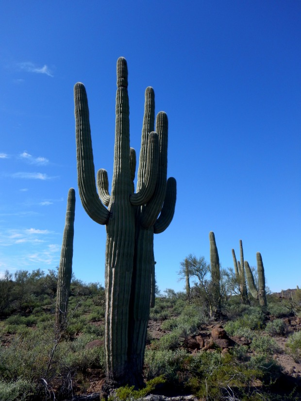 Double saguaro, Organ Pipe Cactus National Monument, Arizona