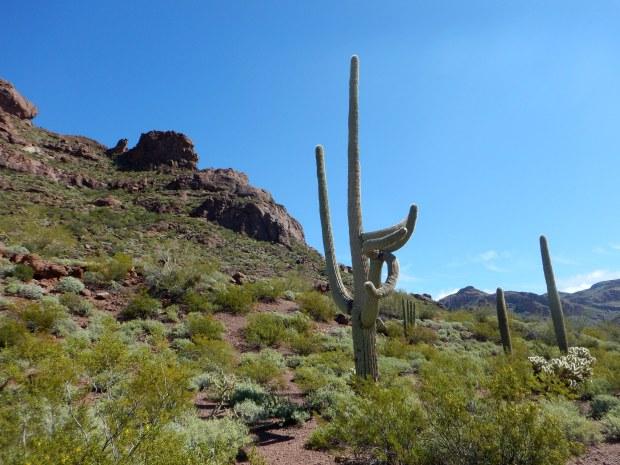 Saguaro, Alamo Canyon Trail, Organ Pipe Cactus National Monument, Arizona
