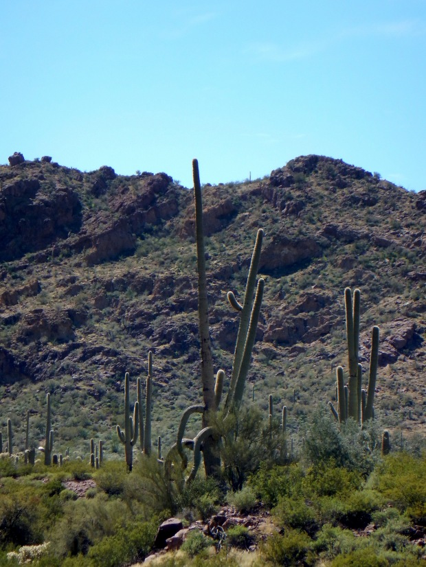 Saguaro, Alamo Canyon Trail, Organ Pipe Cactus National Monument, Arizona