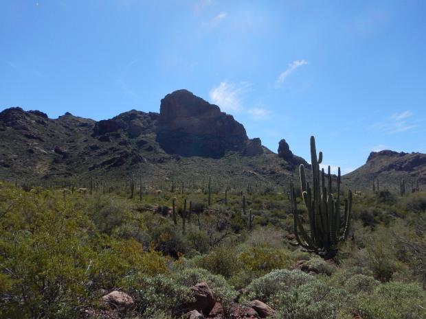 Organ Pipe Cactus on Alamo Canyon Trail, Organ Pipe Cactus National Monument, Arizona