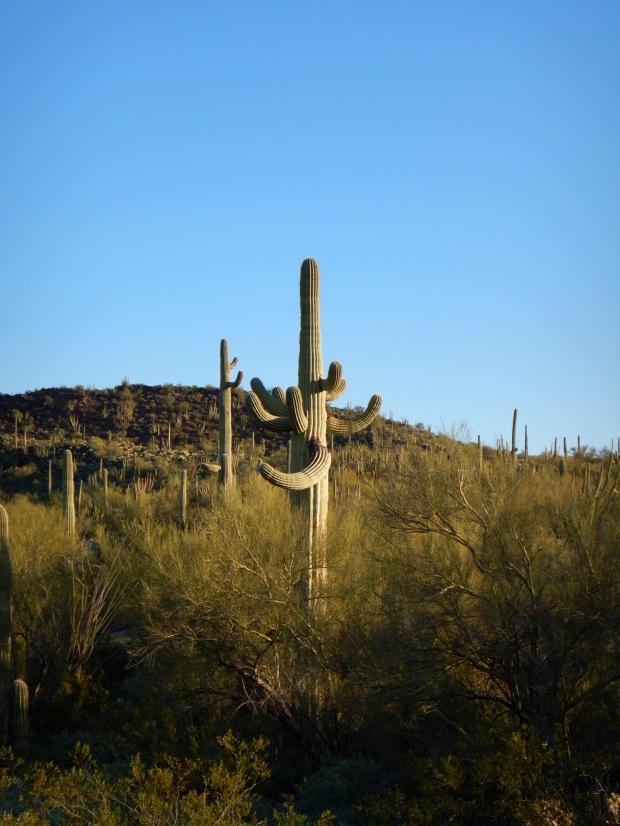Saguaro, Palo Verde Trail, Organ Pipe Cactus National Monument, Arizona