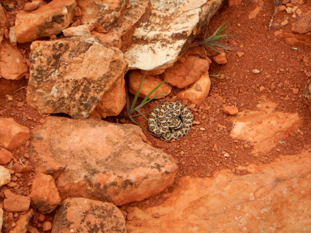 Baby rattlesnake, Red Cliffs National Conservation Area, Utah