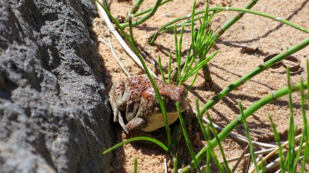 Toad, La Verkin Creek Canyon, Zion National Park, Utah