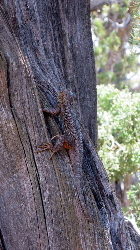Really large lizard, Lion's Head Trail, Dixie National Forest, Utah