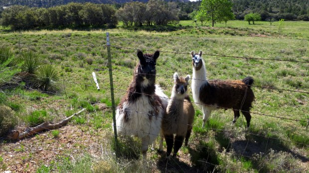 Llamas, Dixie National Forest, Utah