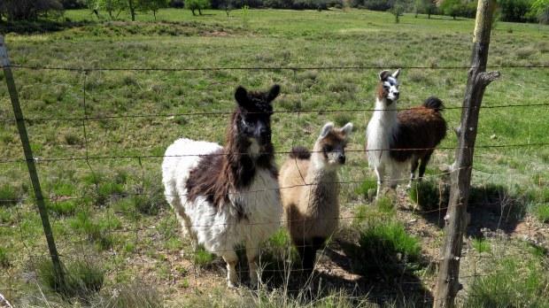 Llamas, Dixie National Forest, Utah
