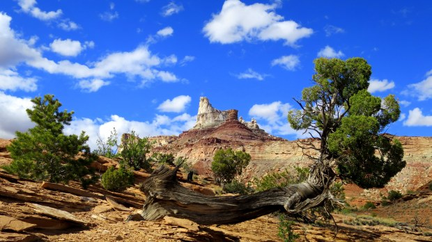 Cottonwood Tree in front of Temple Mountain, San Rafael Swell BLM Area, Utah