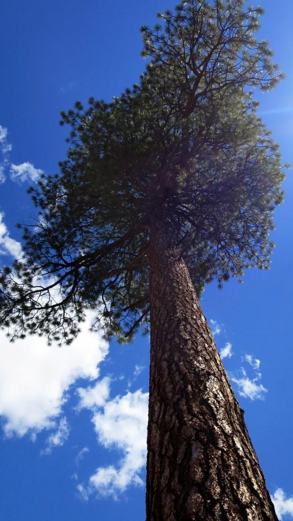 Biiiiiig ponderosa pine, Curecanti Creek Trail, Curecanti National Recreation Area, Colorado