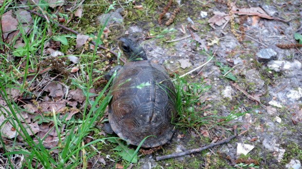 Turtle #1, Natural Tunnel Trail, Bennett Spring State Park, Missouri