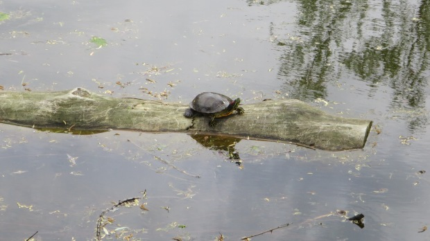 Obligatory turtle picture, Greenfield Village, Michigan