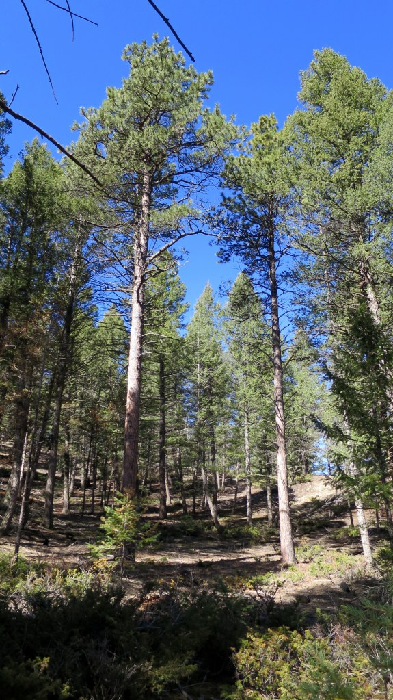 Ponderosa pine and Douglas Fir forest, Ponderosa Loop Trail,  Florissant Fossil Beds National Monument, Colorado