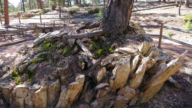 Ponderosa pine growing out of petrified redwood stump, Ponderosa Loop Trail,  Florissant Fossil Beds National Monument, Colorado