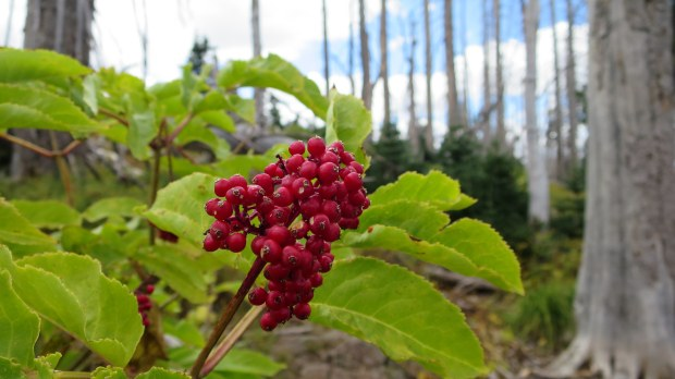 Berries on the Blowhard Mountain Trail, Dixie National Forest, Utah