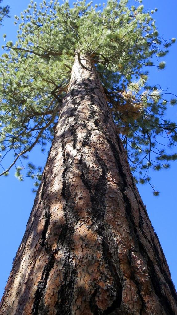 Sniffing the caramels of the massive Ponderosa Pine on the Rattlesnake Creek Trail, Ashdown Gorge Wilderness, Utah