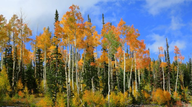 Blazing orange stand of aspens near Brian Head, Utah