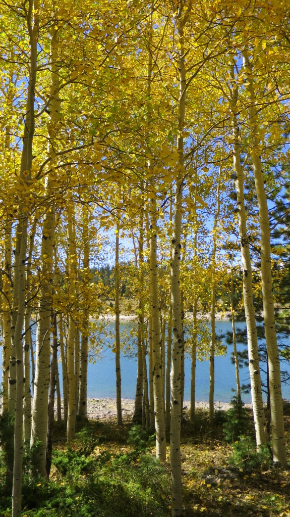 Yellow aspens on the rim of the Yankee Meadows Reservoir, Dixie National Forest, Utah