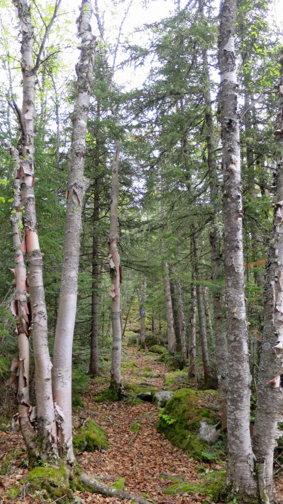 Birch on Under the Volcano Trail, Neys Provincial Park, Ontario, Canada