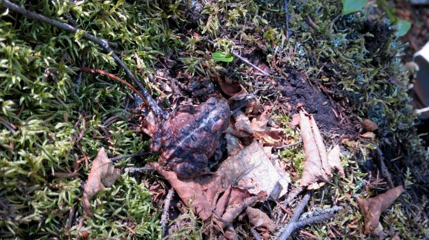 Toad, Casque Isles Trail, Schreiber, Ontario, Canada