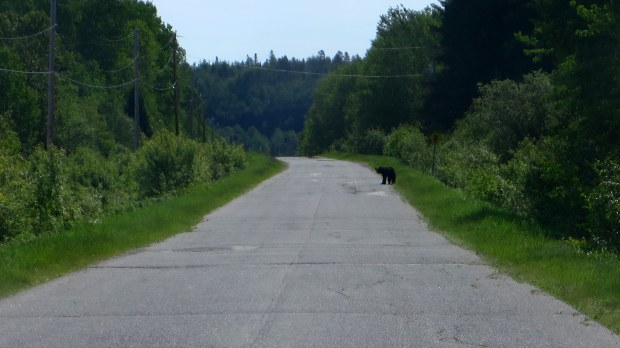 Bear in the road outside Oiumet Canyon Provincial Park, Ontario