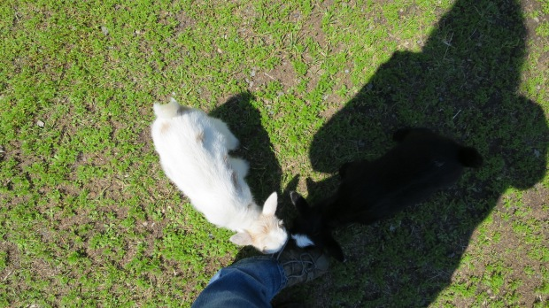 Baby goats eating my shoes, Fort William Historical Park, Ontario, Canada