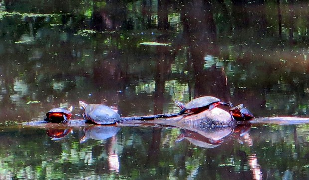 A bad photo of adorable turtles, Rockefeller State Park Preserve, New York