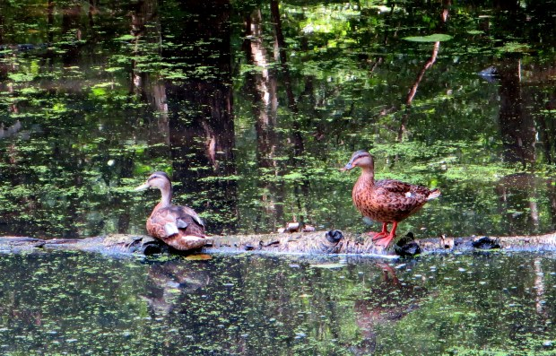 Ducks at Rockefeller State Park Preserve, New York