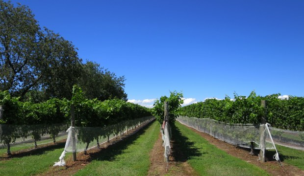 Vineyard, Long Island