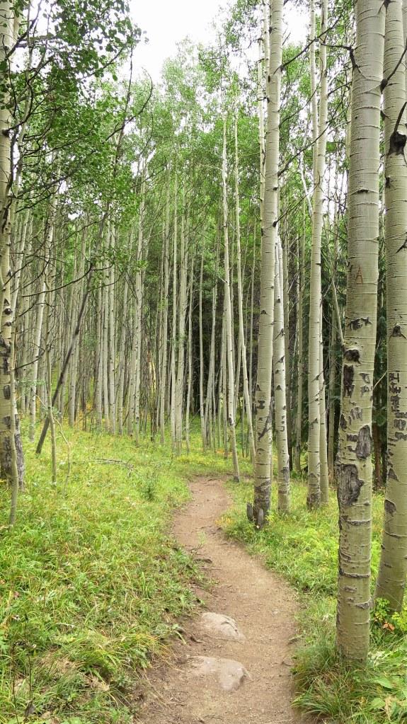 Aspen grove on the Gore Range Trail, White River National Forest, Colorado