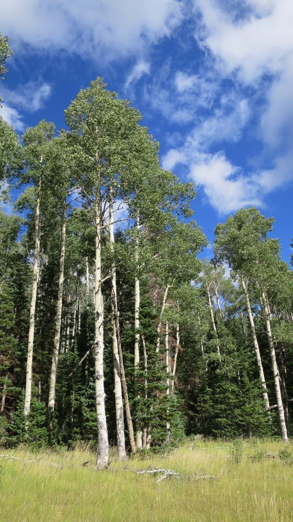 Aspens near Crystal Springs, Crystal Springs Trail, Dixie National Forest, Utah
