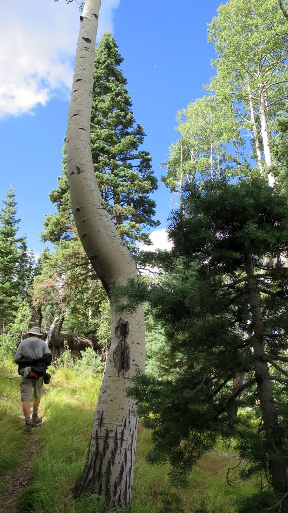 Twisted aspen, Potato Hollow Trail, Dixie National Forest, Utah