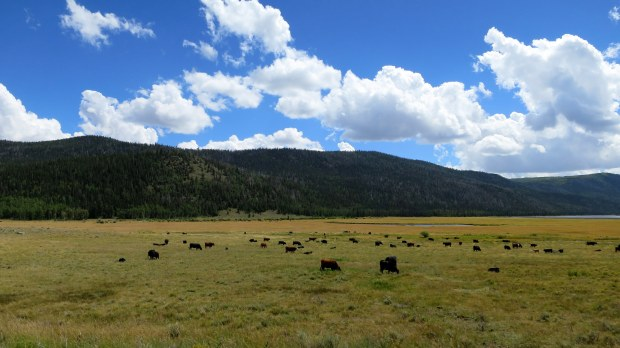 Cows! Fishlake National Forest, Utah