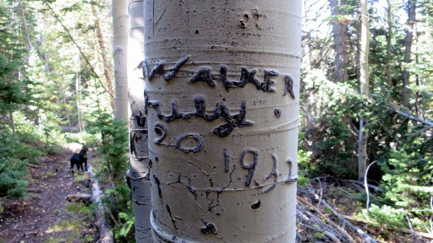 Carving on an aspen from 1932, Rattlesnake Trail, Ashdown Gorge Wilderness, Dixie National Forest, Utah