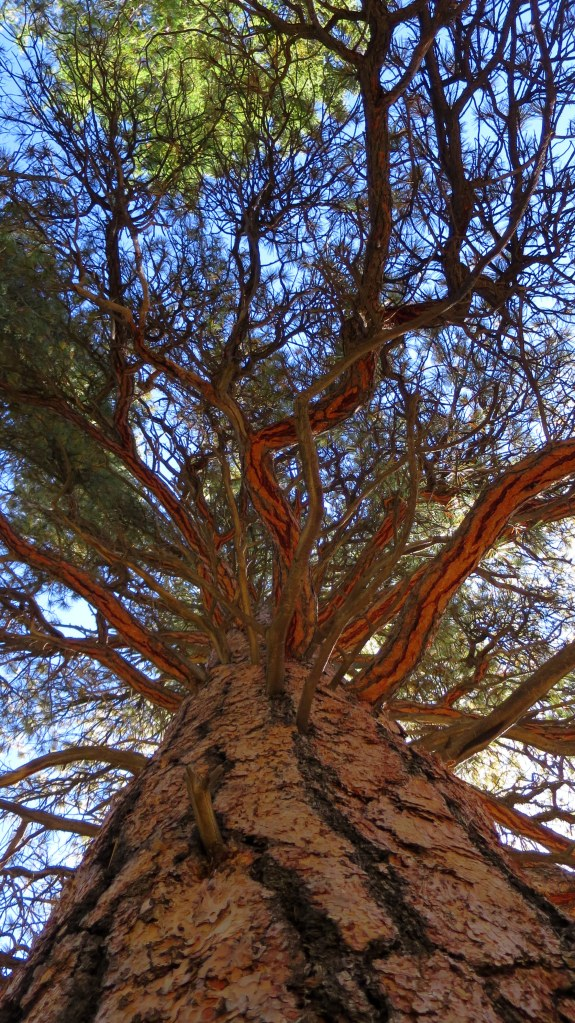 Looking up at one of the super-tall ponderosa pines, Rattlesnake Trail, Ashdown Gorge Wilderness, Dixie National Forest, Utah